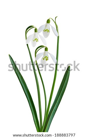 Spring Snowdrop flower isolated on white background - stock photo