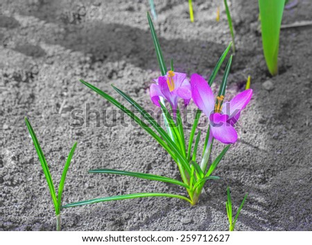 Spring soft lilac crocuses grown on earth - stock photo