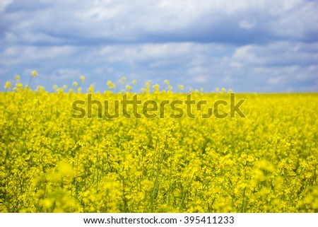 Spring. Spring landscape. Yellow field of blooming canola and blue sky with clouds.  Yellow flowers of rapeseed. Agriculture.  - stock photo