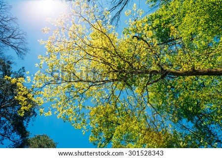 Spring Summer Sun Shining Through Canopy Of Tall Trees. Sunlight In Deciduous Forest, Summer Nature, Sunny Day. Upper Branches Of Tree With Fresh Green Foliage. Low Angle View - stock photo