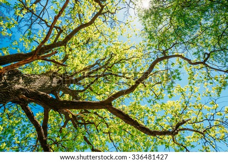 Spring Sun Shining Through Canopy Of Tall Tree. Sunlight In Deciduous Forest, Summer Nature, Sunny Day. Upper Branches Of Tree With Fresh Green Foliage. - stock photo
