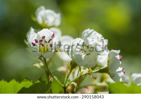 Spring tree white blossom - stock photo