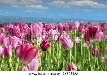 spring tulip flower - stock photo