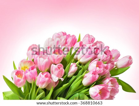 Spring Tulip Flowers over white. Tulips bunch. Pink tulips. - stock photo