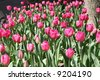 Spring Tulips in a Flower Bed - stock photo
