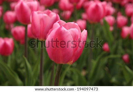Spring tulips in full bloom at the Tulip Festival in Ottawa, Canada - stock photo