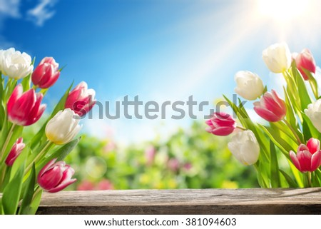 Spring tulips in the field - stock photo