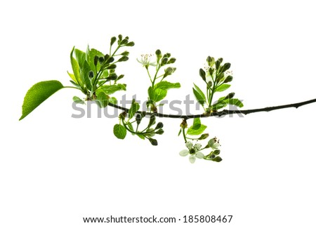 Spring twig of wild plum tree with young leaves, buds and flowers isolated on white background   - stock photo