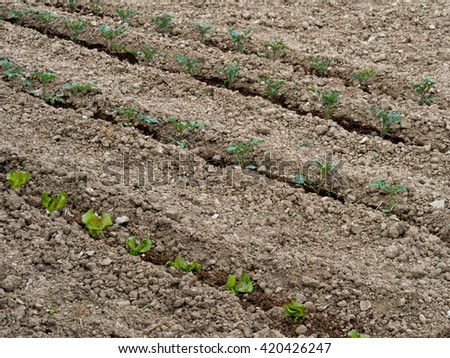 Spring vegetable garden, allotment. Fine tilth, salad crops. Lettuce and tomatoes planted out. - stock photo