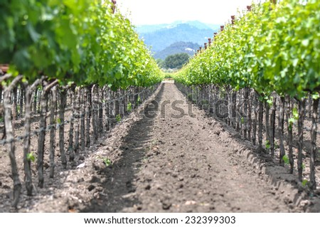 Spring Vineyard in Napa Valley California - stock photo