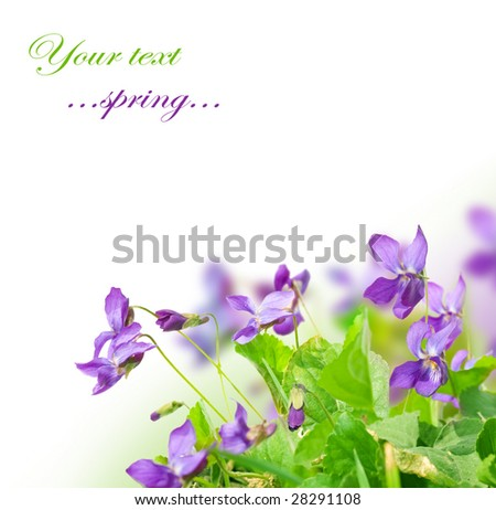 Spring Violet Flowers - stock photo