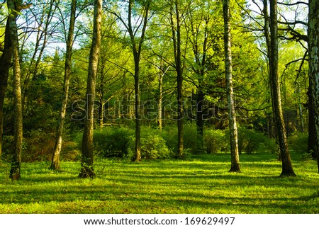 spring white birch grove and green grass - stock photo