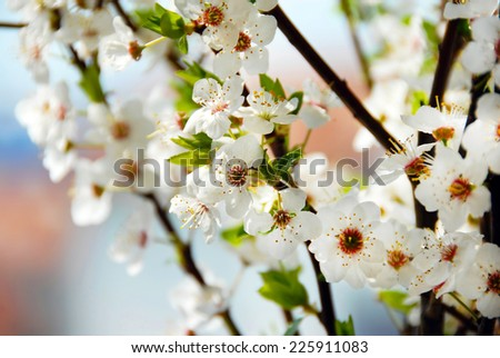 spring white blooming plum blossom flowers background - stock photo