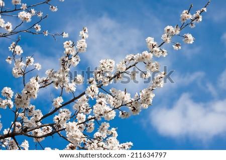 spring white blossom against blue sky - stock photo