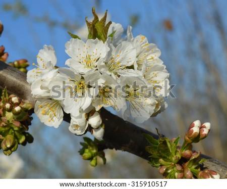 Spring white flowers - stock photo