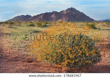 Spring Wildflowers in Sonora Pinacate Desert Sunset - stock photo