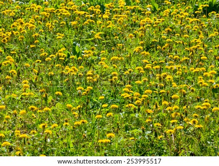 Spring wildflowers, yellow dandelions on a sunny day, flora - stock photo