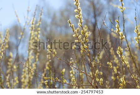 Spring willow  branch with blooming leaves - stock photo