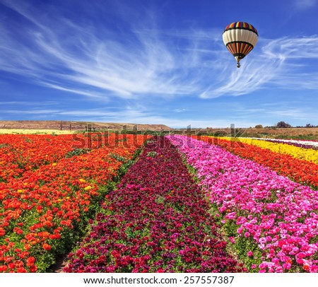 Spring windy day. Field of blooming buttercups ranunculus. Flowers planted with broad bands of bright colors - red, claret and pink. Huge balloon flies over a field - stock photo