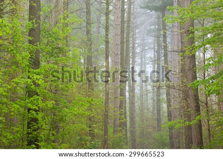 Spring woods in fog, Kellogg Forest, Michigan, USA - stock photo