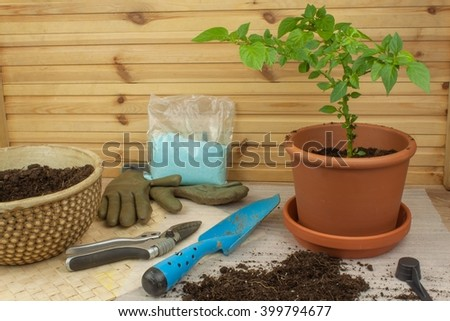 Spring works in the garden. Seedlings chilli peppers. Growing vegetables. Transplanting seedlings into pots. Chilies in a clay pot. Pepper seedlings and fresh chili pepper branch. - stock photo