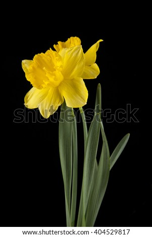 spring yellow daffodil flowers isolated on black background - stock photo