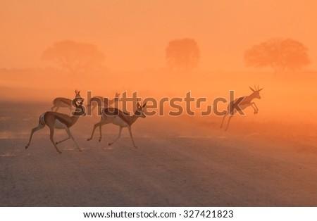 Springbok Antelope - African Wildlife Background - Golden Sunset Run - stock photo