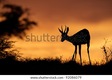 Springbok antelope (Antidorcas marsupialis) silhouetted against a red sky, Kalahari desert, South Africa - stock photo