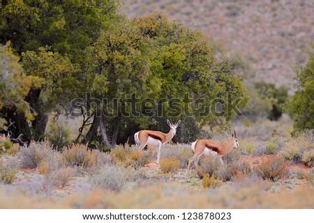 Springbok at the Sabona Wildlife Reserve in South Africa - stock photo
