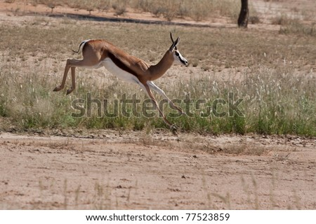 springbok gazelle jumping in the kalahari desert in the Kgalagadi Transfrontier Park in South Africa - stock photo