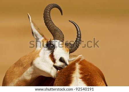 springbok scratching - stock photo