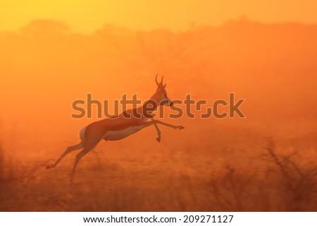 Springbok - Wildlife Background from Africa - Sun Jumper - stock photo