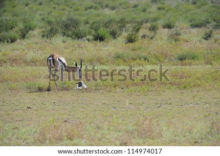 Springbuck (Antidorcus marsupialis). A ewe having just given birth disposes of the placenta by consuming it. - stock photo