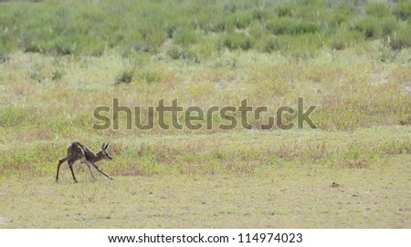 Springbuck (Antidorcus marsupialis). A just born lamb takes its first steps - stock photo