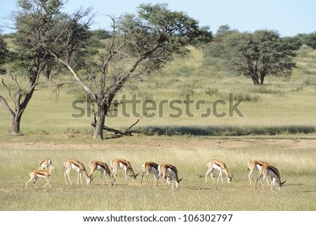 Springbuck (Antidorcus marsupialis) graze on grasses in the Nossob, a dry riverbed in the Kgalagadi transfrontier park - stock photo