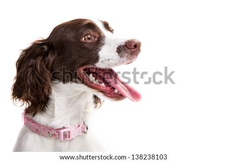 Springer Spaniel - stock photo