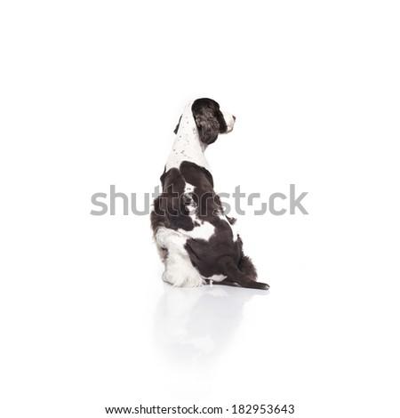 Springer Spaniel against white background - stock photo