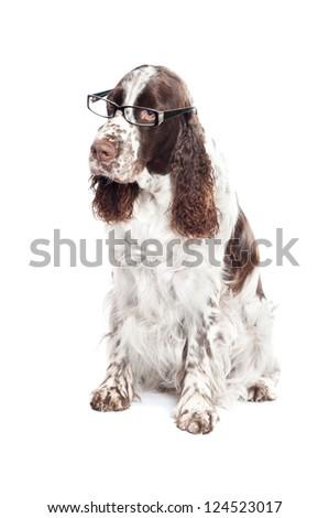 springer spaniel dog in glasses - stock photo