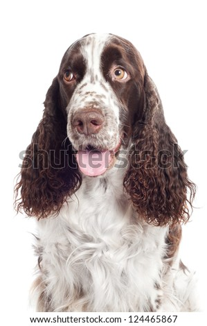 springer spaniel dog portrait - stock photo