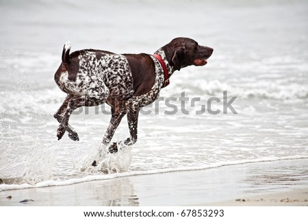 Springer Spaniel dog running in the ocean - stock photo