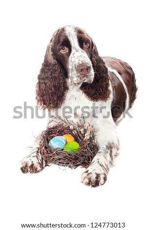 springer spaniel dog with easter eggs - stock photo