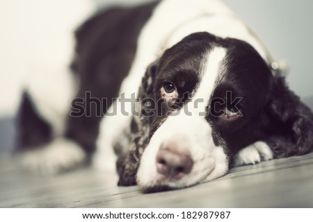 Springer Spaniel lie down on the floor. - stock photo