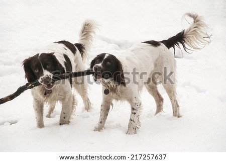 Springer spaniels carrying a stick in the snow, UK - stock photo