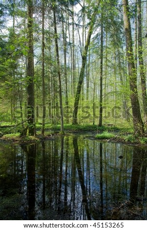 Springtime alder bog forest with small pond under shady canopy of stand and blue sky - stock photo