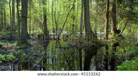 Springtime alder bog forest with standing water - stock photo