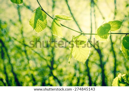 Springtime beech leaves in green nature - stock photo