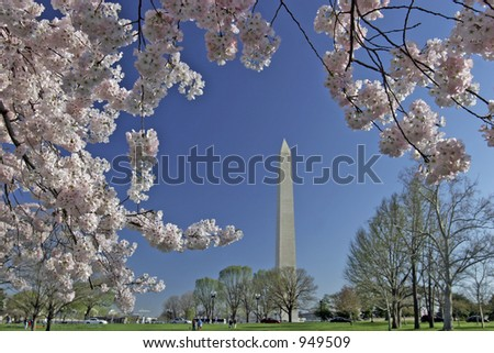 springtime cherry blossom blooming with washington monument in background - stock photo