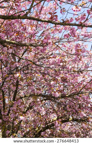 Springtime cherry blossom tree april time  Victoria Canada - stock photo