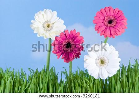 springtime daisies - stock photo