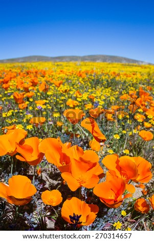 Springtime in California, thousands of flowers blooming on the hills of the Antelope Valley California Poppy Preserve - stock photo